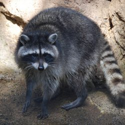 4 Common Infectious Raccoon Diseases