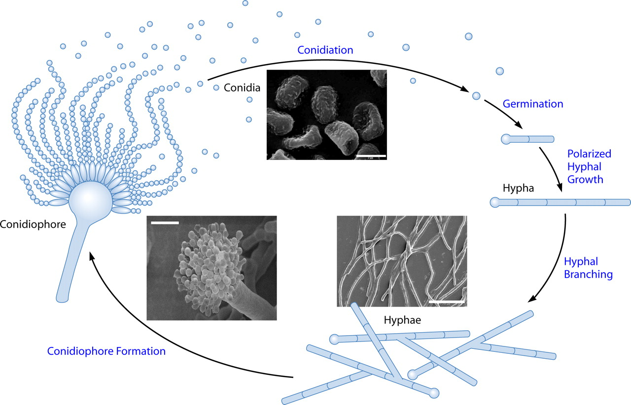 spore formation asexual reproduction In both sexual and asexual reproduction, fungi produce spores that disperse from the the most common mode of asexual reproduction is through the formation of.