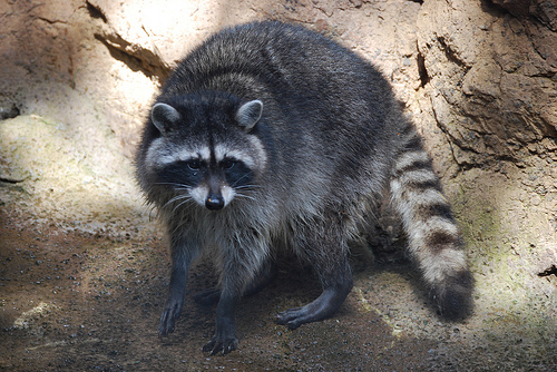 Infectious Raccoon Diseases