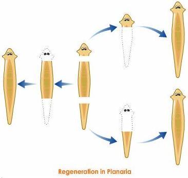 regeneration in planaria