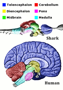 shark and human mind similarities