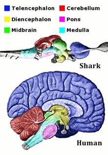 shark and human mind similarities