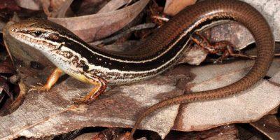 Coastal Skink Lizard