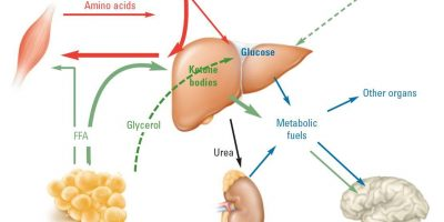 How Ketosis Works Diagram
